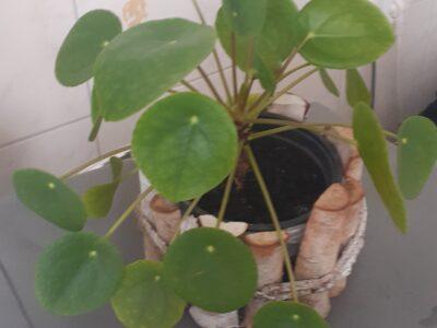 ufopflanze