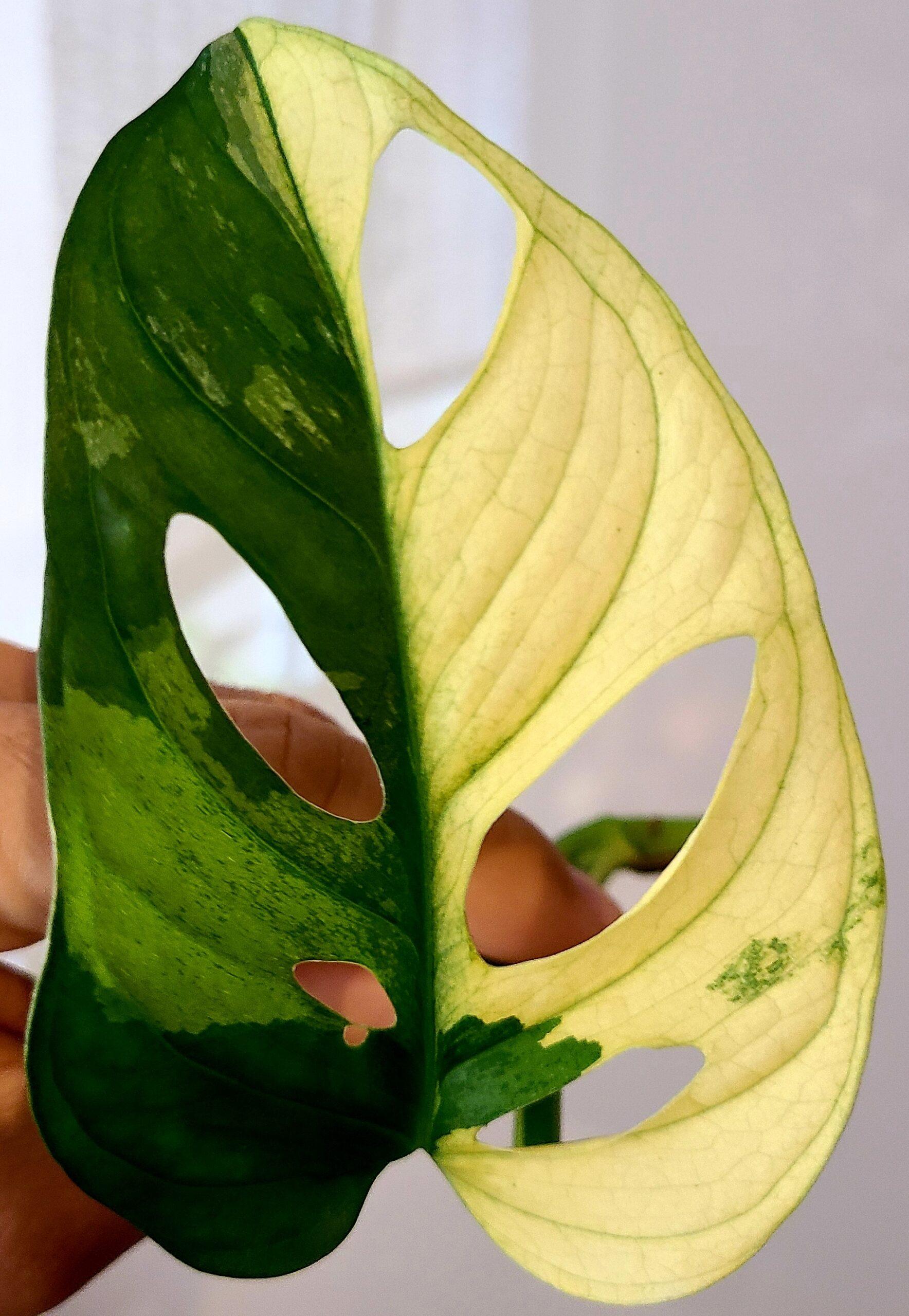 monstera adansonii Variegated stammsteckling