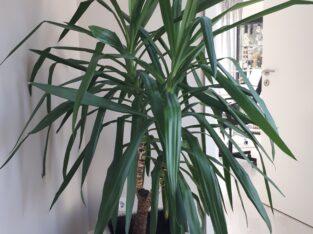 Yucca Palme 2-stämmig 1,40 hoch
