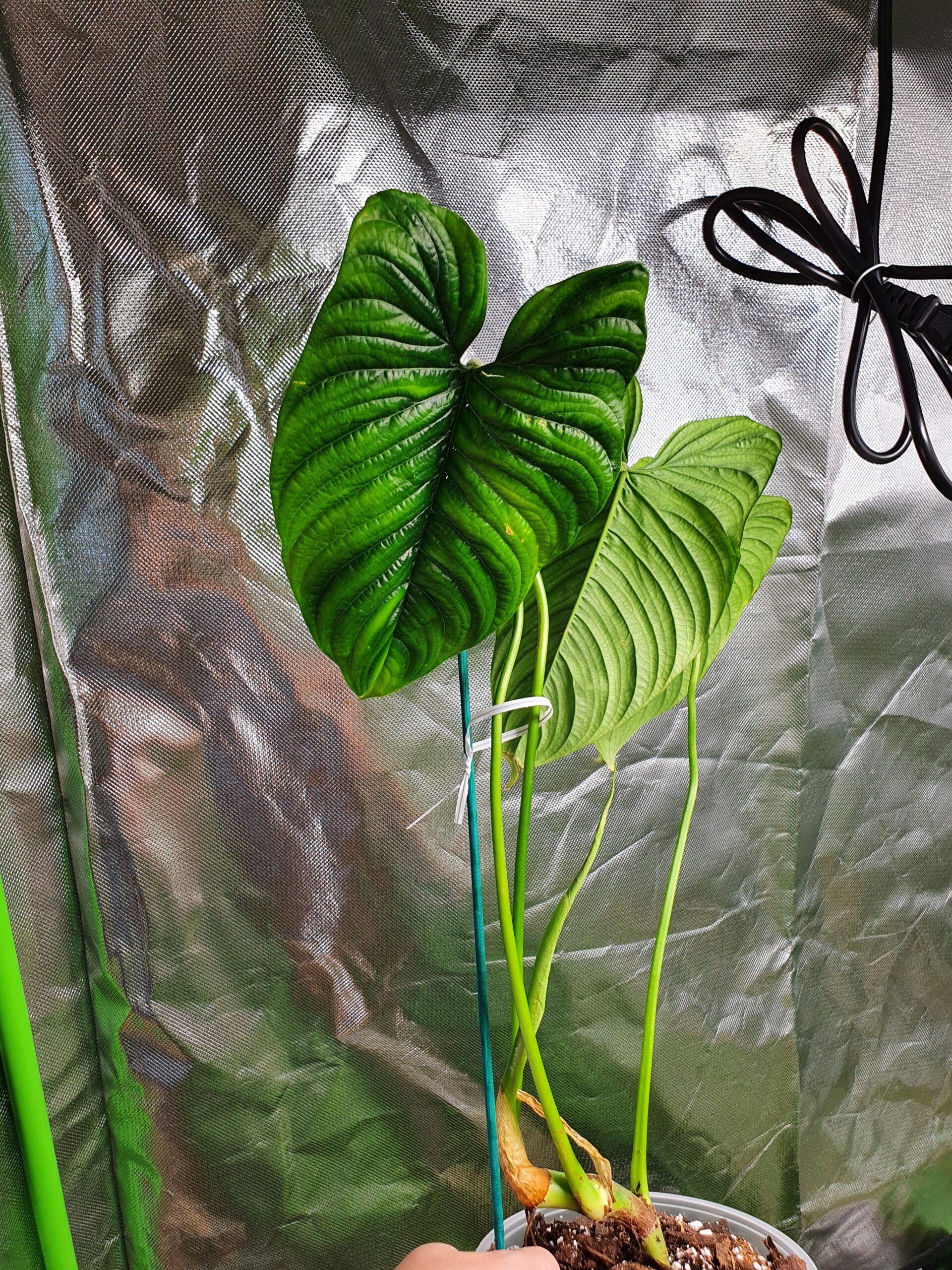 Furcatum Philodendron