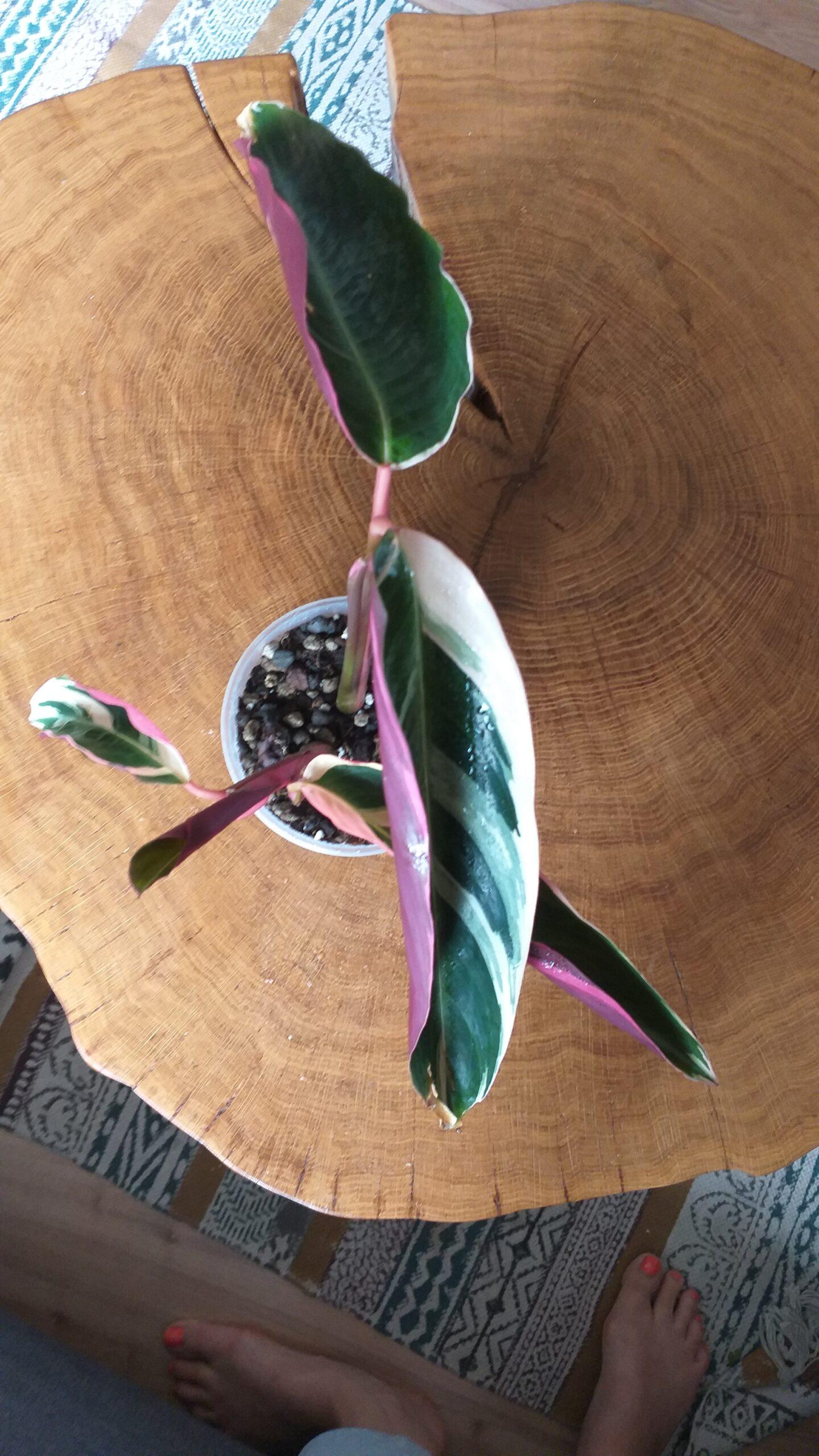 Calathea Tricolour Jungpflanze- kräftig durchwurzelt