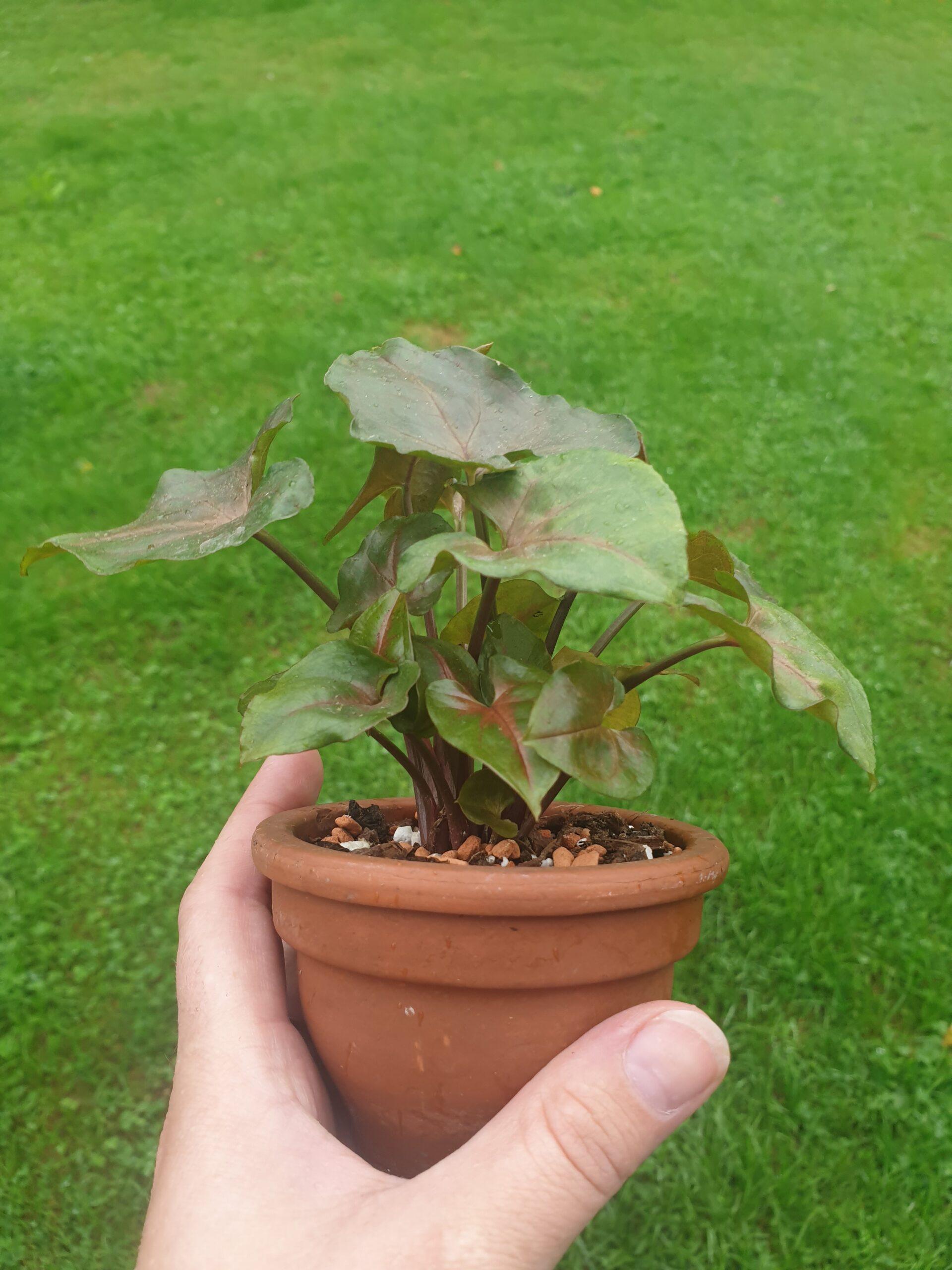 Syngonium Maria Allusion Babyplant in Tontopf