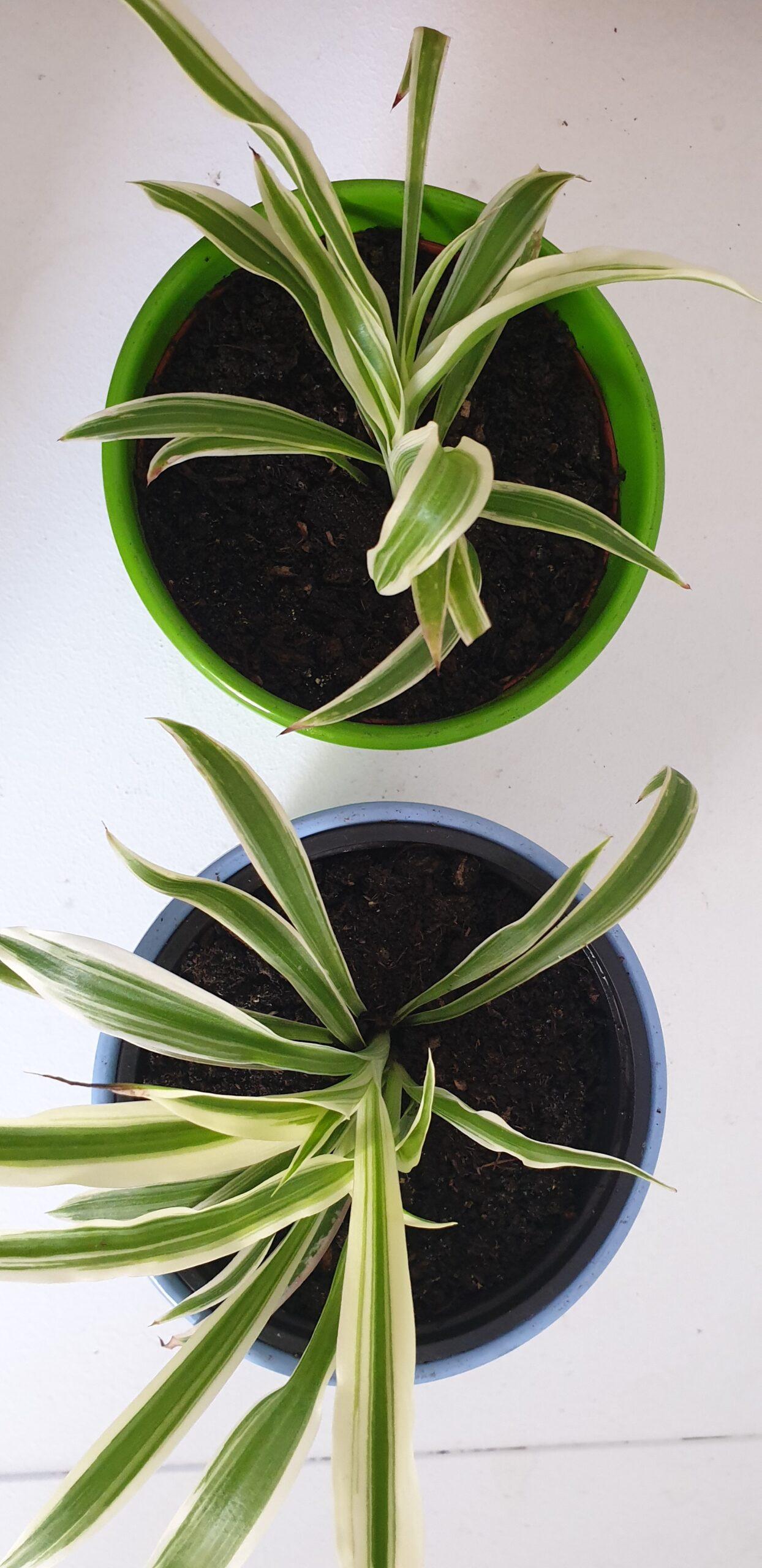 Grünlilien in Töpfen (grün&blau) + Innentöpfe