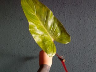 Painted Lady Philodendron – XXL Ableger