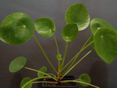 Pilea//Chinesischer Geldbaum//Ufopflanze