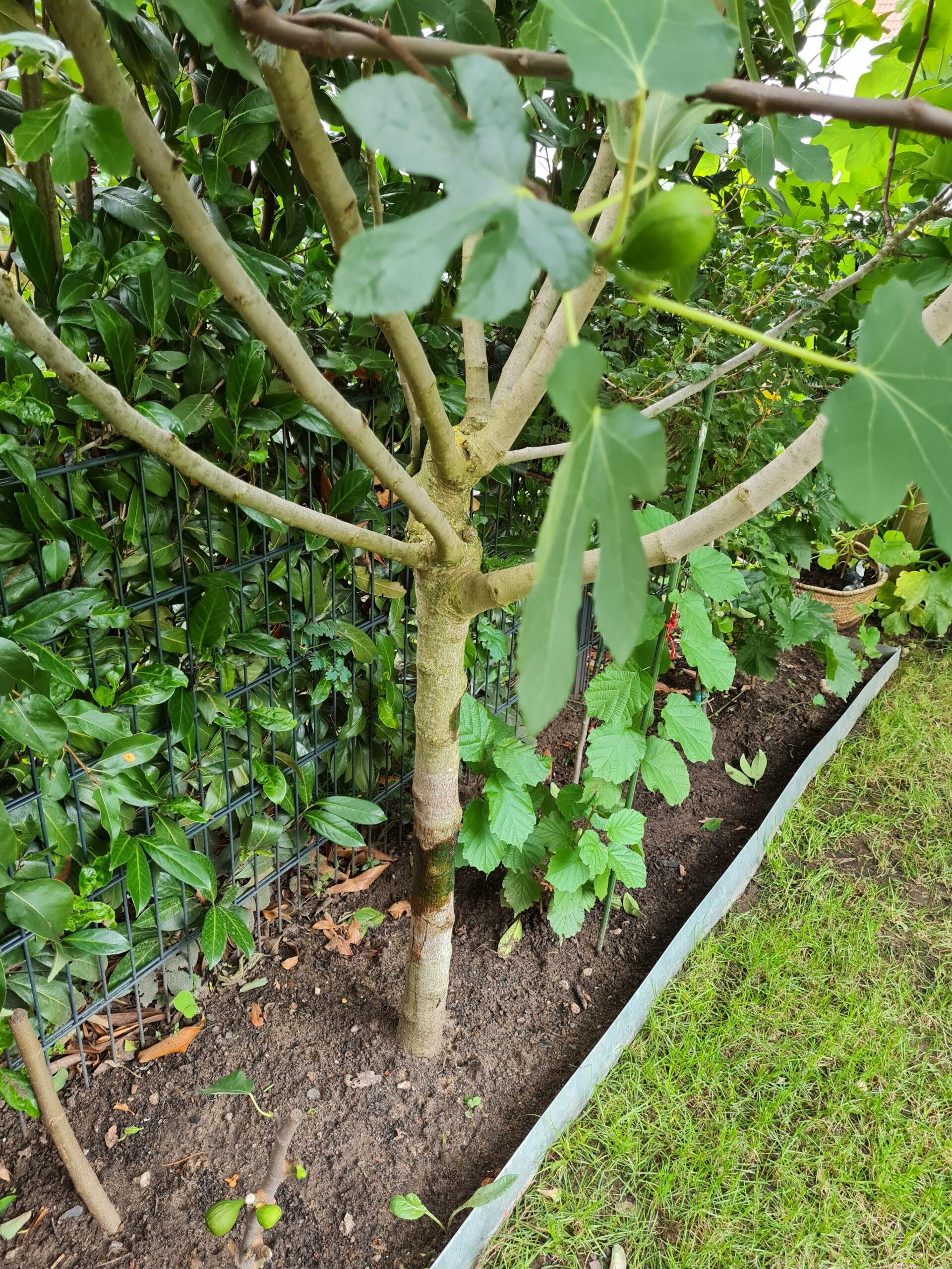 Feigenbaum sehr groß mit Früchte Winterhart selbstfruchtend und lecker
