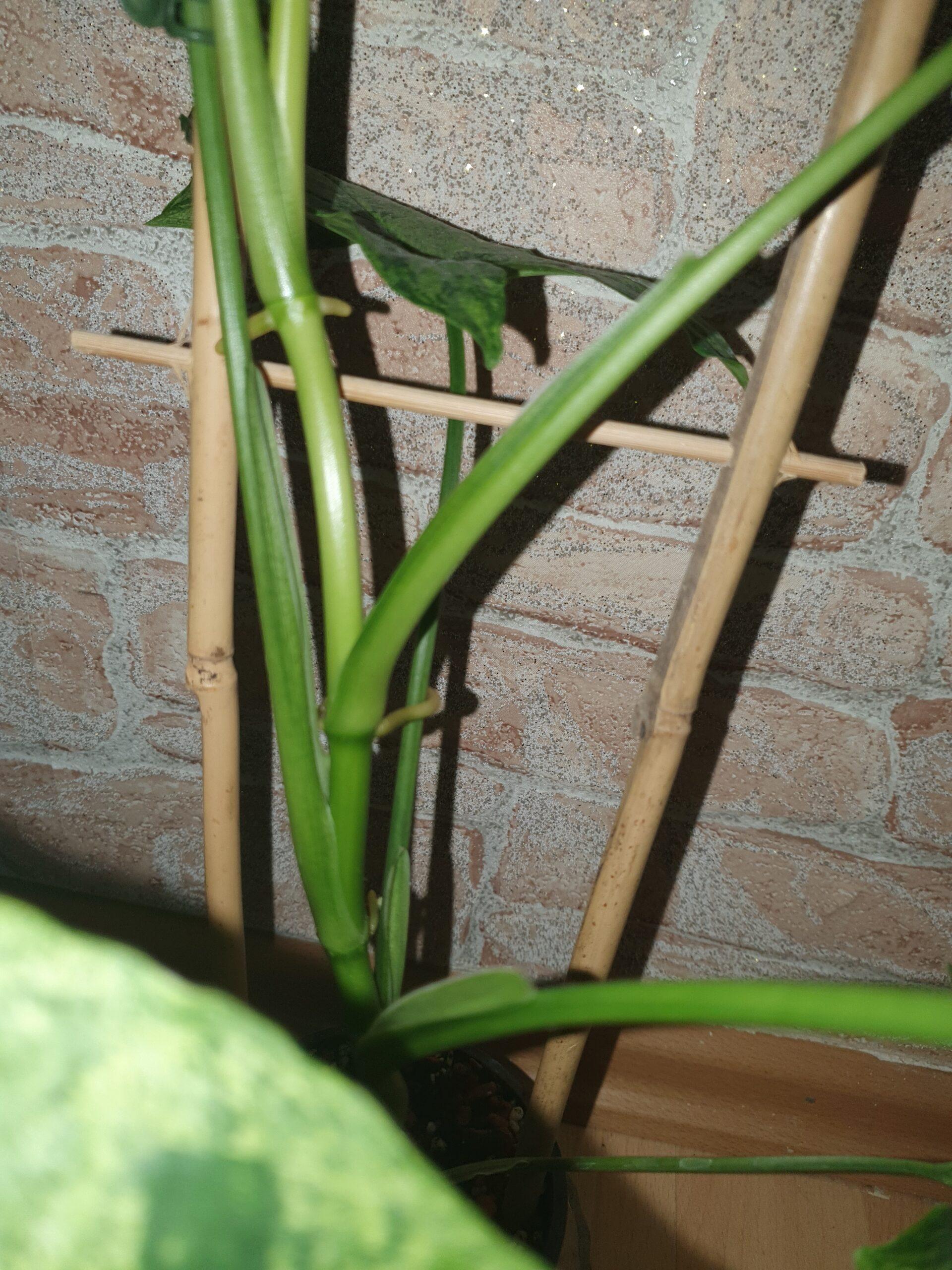Große Syngonium mottled mojito