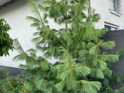 Pinus schwerinii 'Wiethorst' -Zapfen-Kiefer