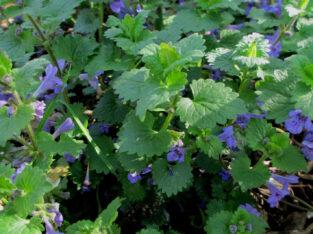 Gundermann_Glechoma hederacea_Gundelrebe_Heilpflanze_Wildpfl