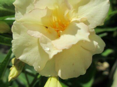 20 Oleander-Samen_Nerium_versch. Farben mögl._ganzj.Aussaat