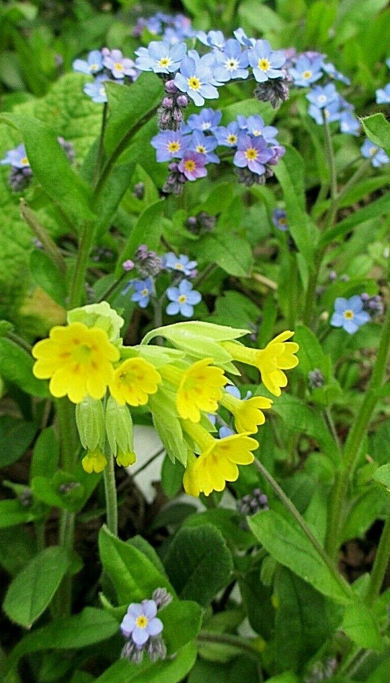 3 x goldgelbe Schlüsselblume_Primula veris_Wildform_Heilpfl.