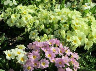 3x Garten-Primel_Primeln_Primula vulgaris_Wildform_Heilpfl.