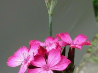 Riesen-Nelke_Dianthus giganteus_ähnlich Karthäusernelke