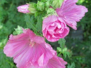 Rosa Malve_Buschmalve_Jungpflanze aus Biogarten_Bauerngarten