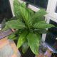 Riesiges Einblatt Spathiphyllum