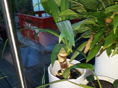 Yucca, 1-stämmig, ca. 20 cm hoch, 1,-