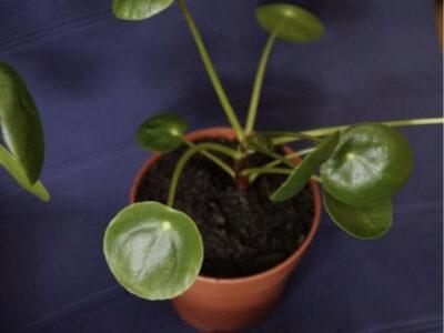 Ableger Pflänzchen Pilea Geldbaum Ufopflanze verschiedene Gr