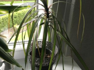 Drachenbaum, Dracaena marginata Jungpflanze