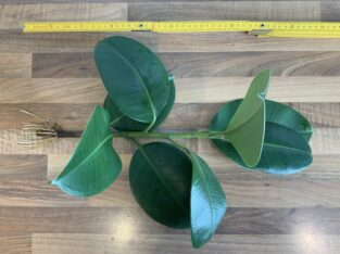 Gut bewurzelter Gummibaum Steckling Ficus elastica 35cm