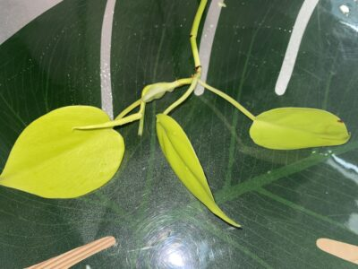 Philodendron Micans Lime Hederaceum Lemon Lime Ableger