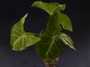 Ableger Syngonium white Butterfly bewurzelt