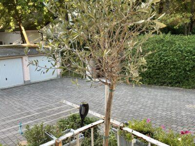 Olivenbaum im Topf