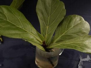 Kopfstecklinge Geigenfeige Ficus Lyrata