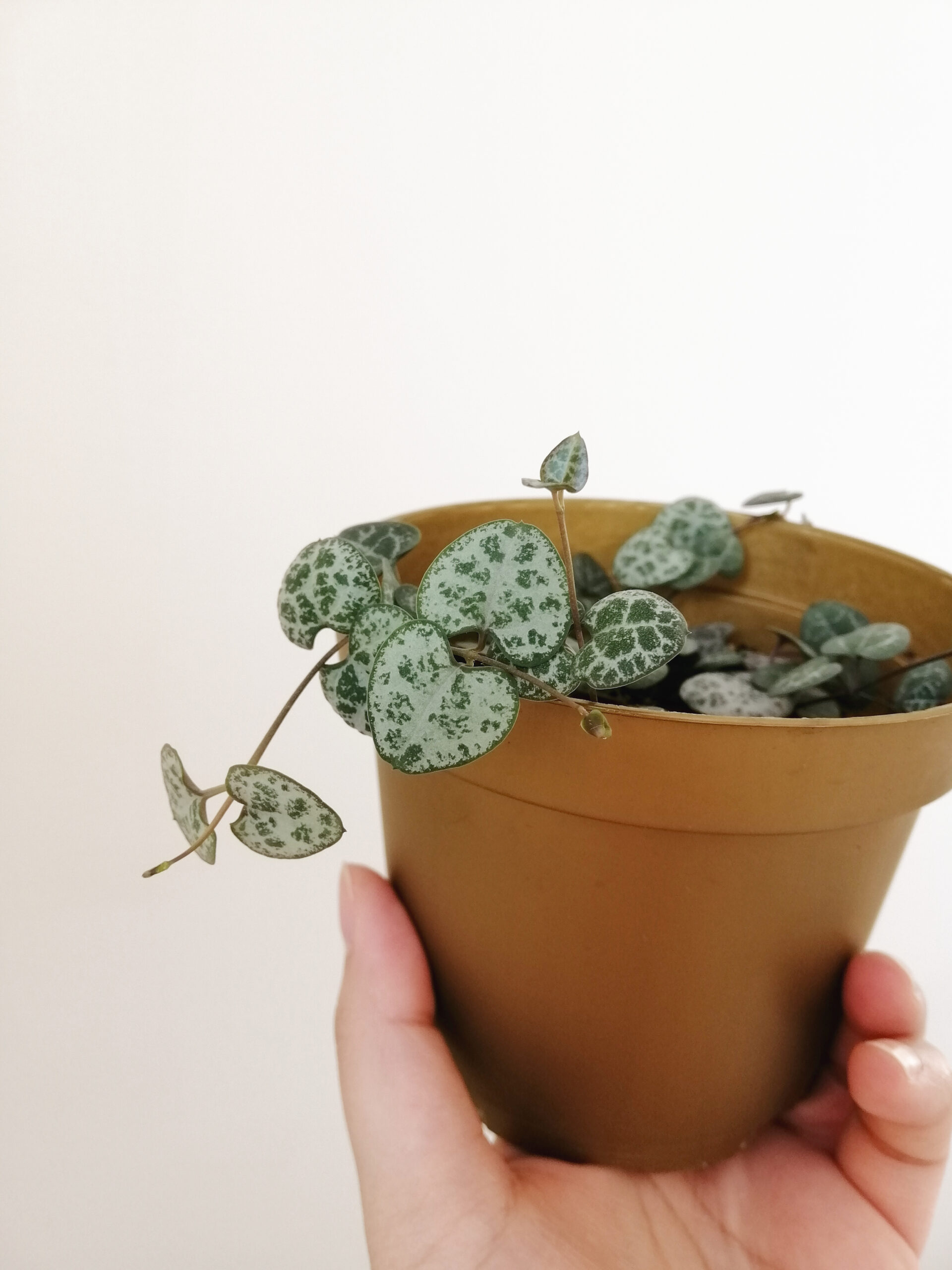 Ceropegia Wodii (String of Hearts, Leuchterblume)