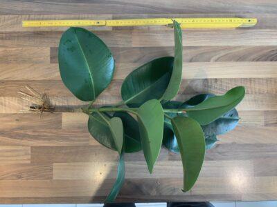 Gut bewurzelter Gummibaum Steckling Ficus elastica 45cm