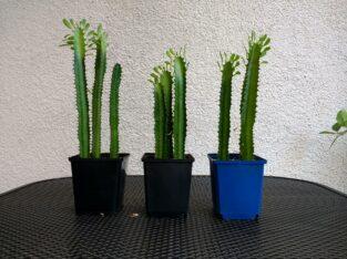 Euphorbia (Wolfsmilch)