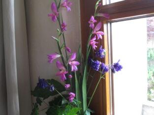 Gladiolus communis ssp. byzantinus_winterh. Gladiole_20Samen