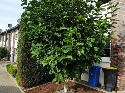 Magnolie Baum