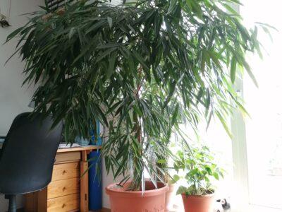 Ficus Alii Höhe 190 cm Krone Ø 170 cm 4 Stämme TOP Zustand