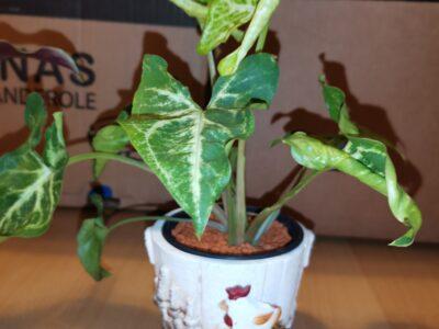 Syngonium podophyllum Purpurtute im Topf mit Seramis