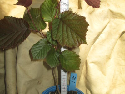 1 rotlaubige_Haselnuss_Jungpflanze_ca. 25 cm_ Jungbaum