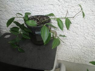 Peperomia angulata_Ableger_Hängepflanze_Ampelpflanze