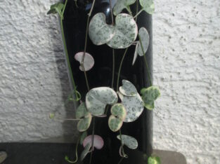 Ceropegia woodii variegata_Leuchterblume_6 bew. Ableger