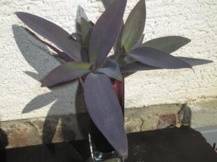 Mexikanische Tradescantia pallida_Purple Heart_3 bew. Abl.
