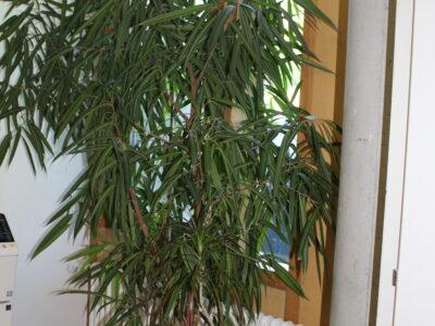 gesunde XXL Zimmer Grünpflanze Ficus Benjamin 225 x 140 cm