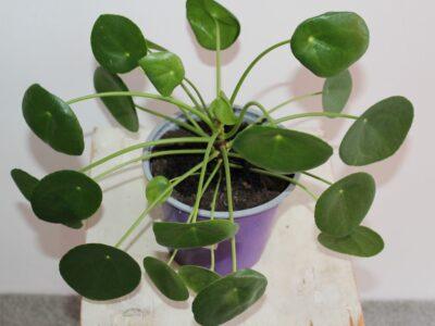 Gesunde Pflanze Pilea Peperomioides 13 cm Glückstaler Ufo