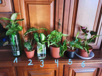 Pflanzenpaket Zimmerpflanzen Grünpflanzen Calathea Dieffenba