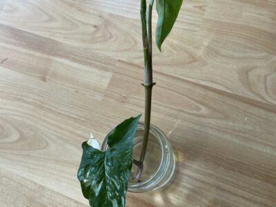 Syngonium Variegata Ableger