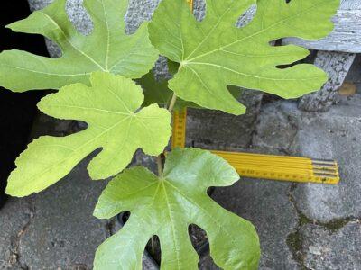 verschiedene Feigenbäume von ca. 30-110cm
