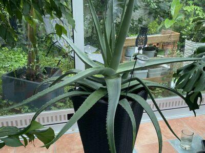 Riesen Aloe Vera XXL