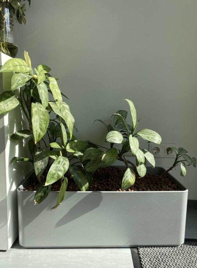 Efeutute Pflanze, Büro