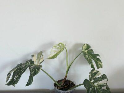Monstera deliciosa Variegata Pflanze