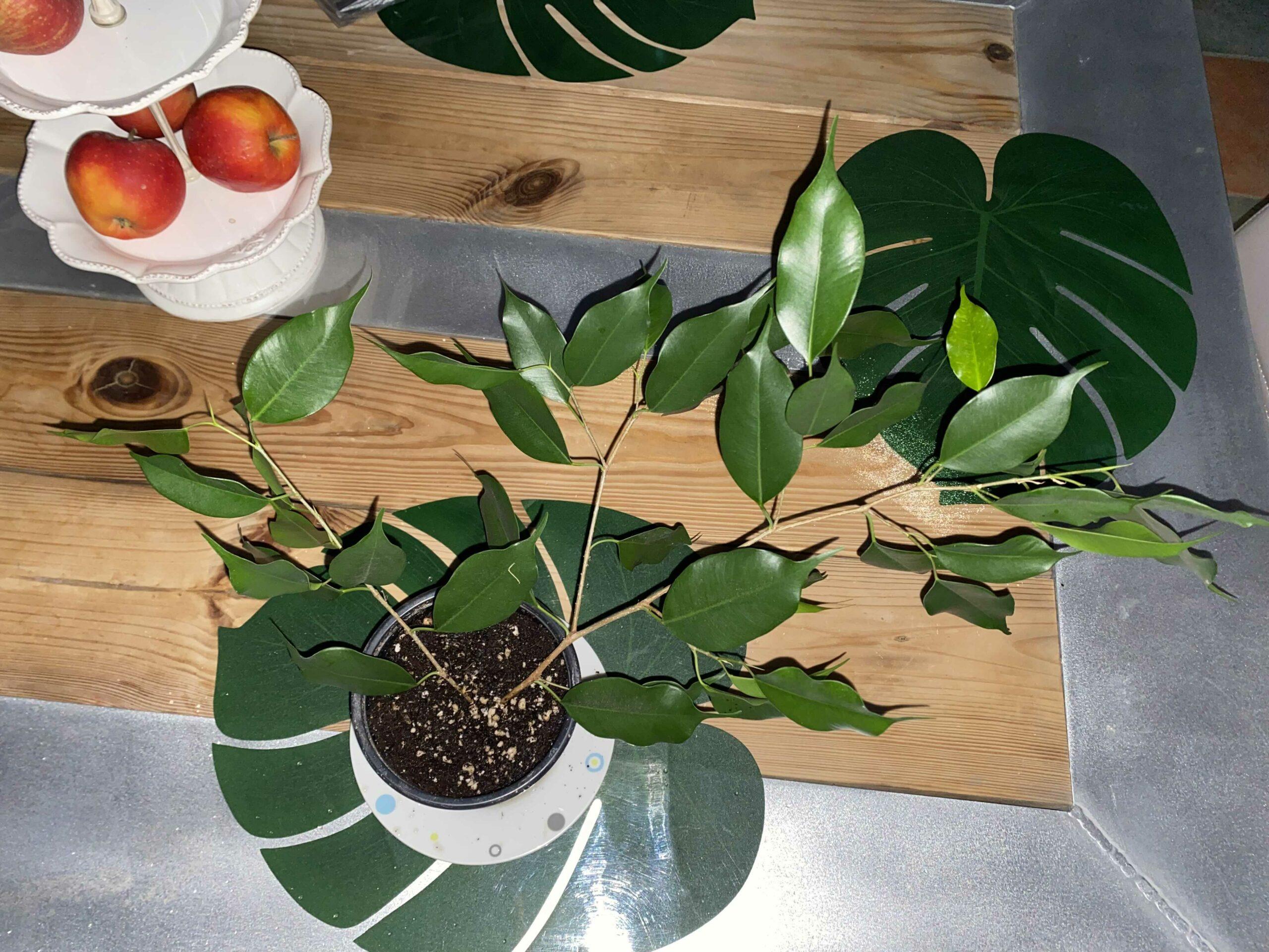 Ficus Benjamini Ableger