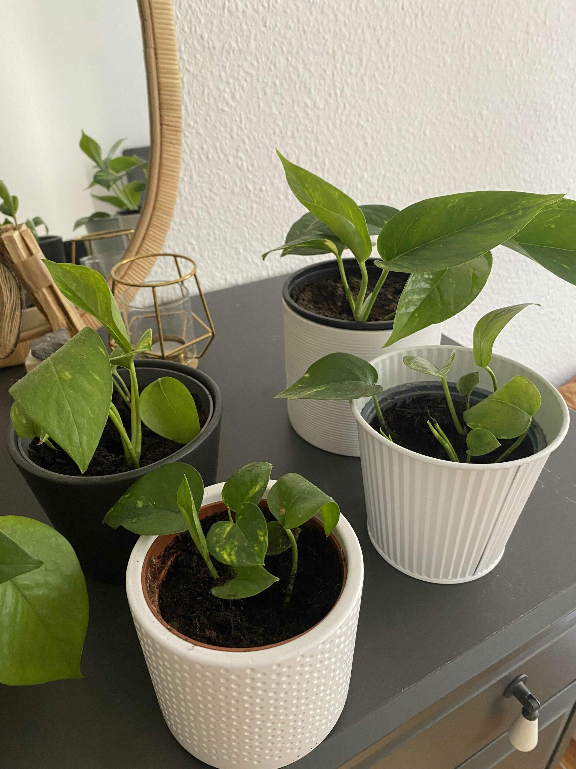Efeutute Zimmerpflanze