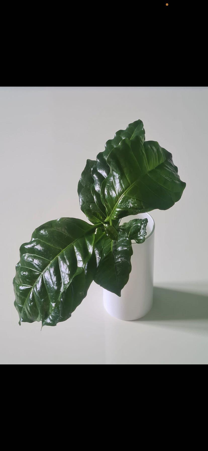 Kaffeepflanze arabica Ableger bewurzelt