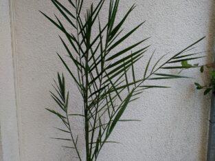 Dattelpalme (Phoenix dactylifera)
